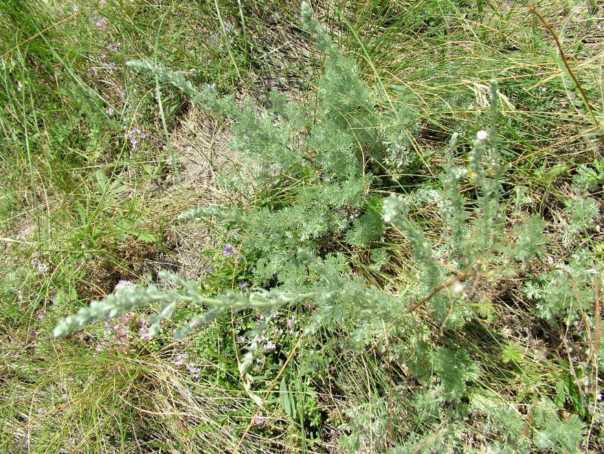 Фото обыкновенного растения – полыни