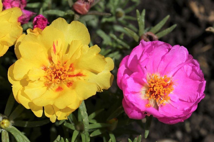 Скачать фото цветов портулака с лечебными свойствами