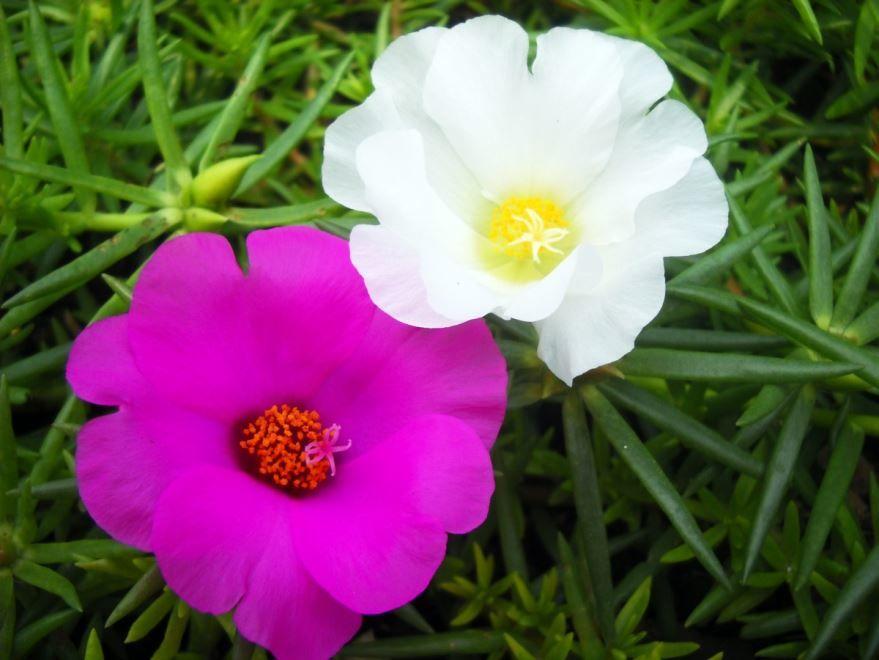 Фото огородного портулака с полезными свойствами