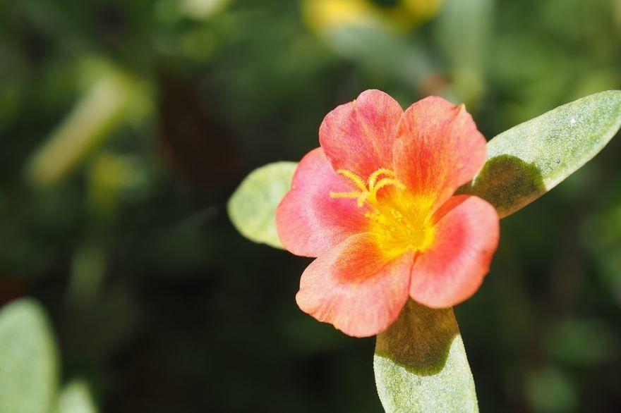 Фото растения портулака, который садят в открытый грунт