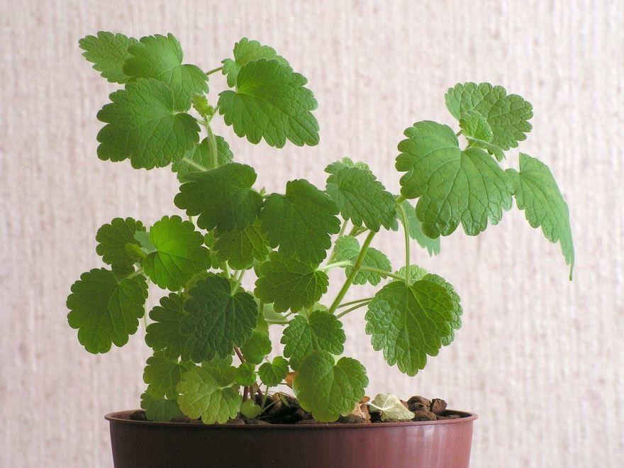 Фото лечебного растения пустырника