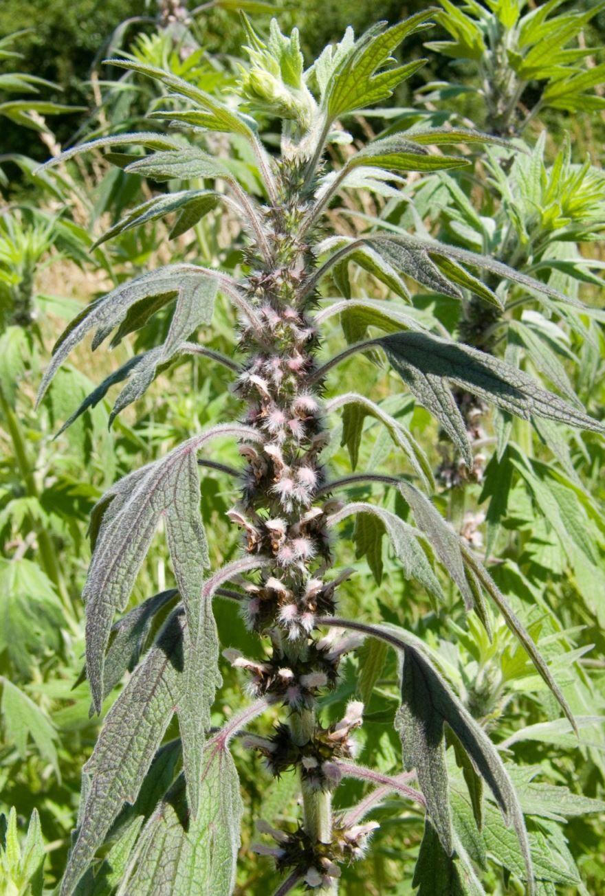 Фото растения пустырника в хорошем качестве