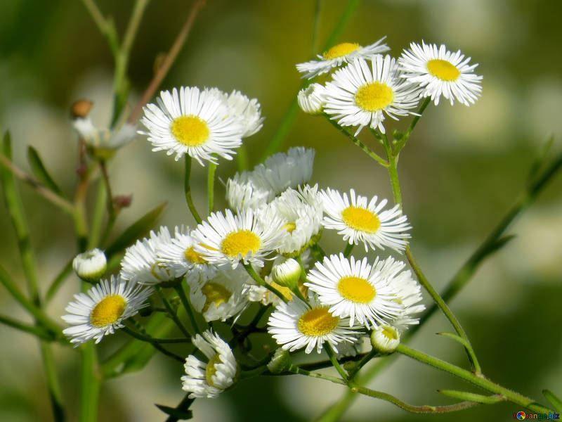 Скачать фото красивых цветков – ромашки онлайн