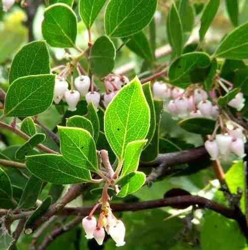 Лучшие фото и картинки толокнянки с листьями, полезной при цистите