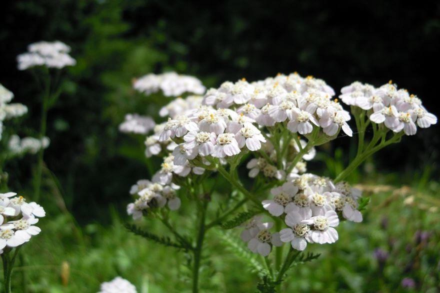 Фото лекарственного тысячелистника, садовой посадки