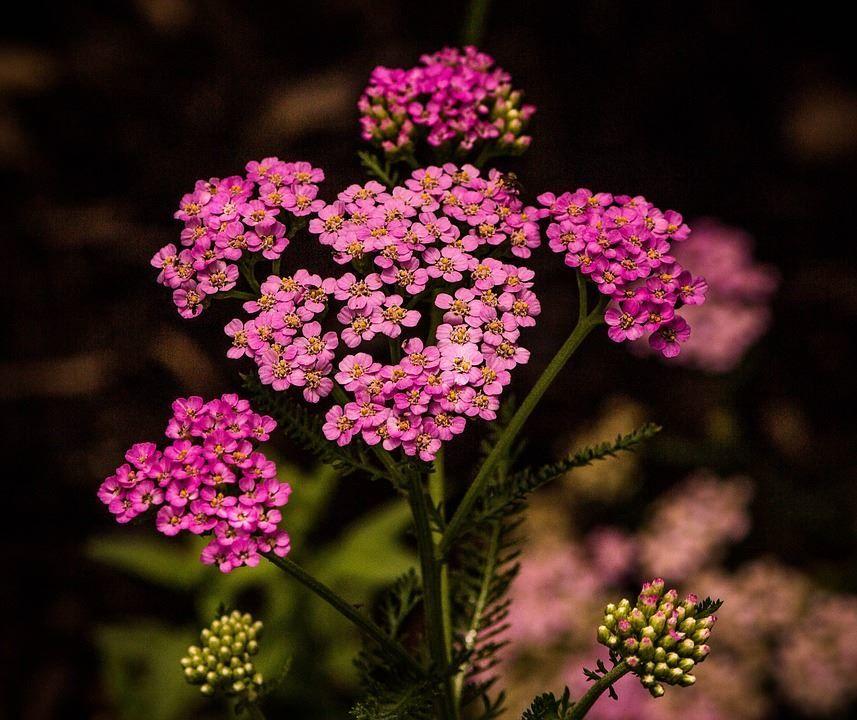 Фото растения тысячелистника с полезными свойствами