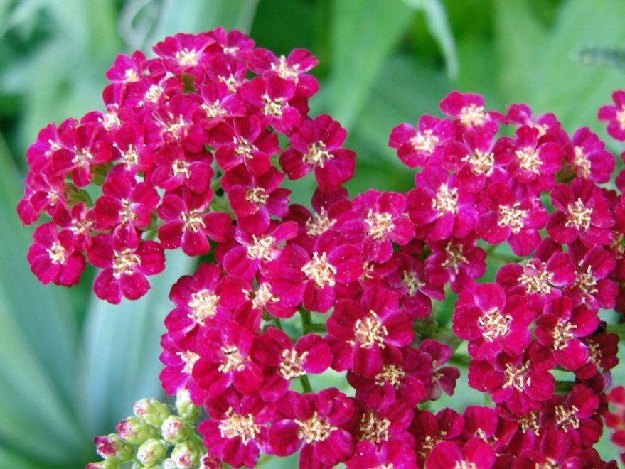 Скачать фото лечебного растения тысячелистника