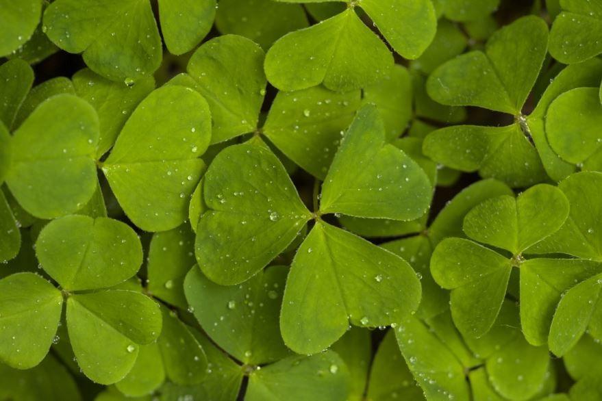 Фото лечебного растения щавеля, для вкусных рецептов борща