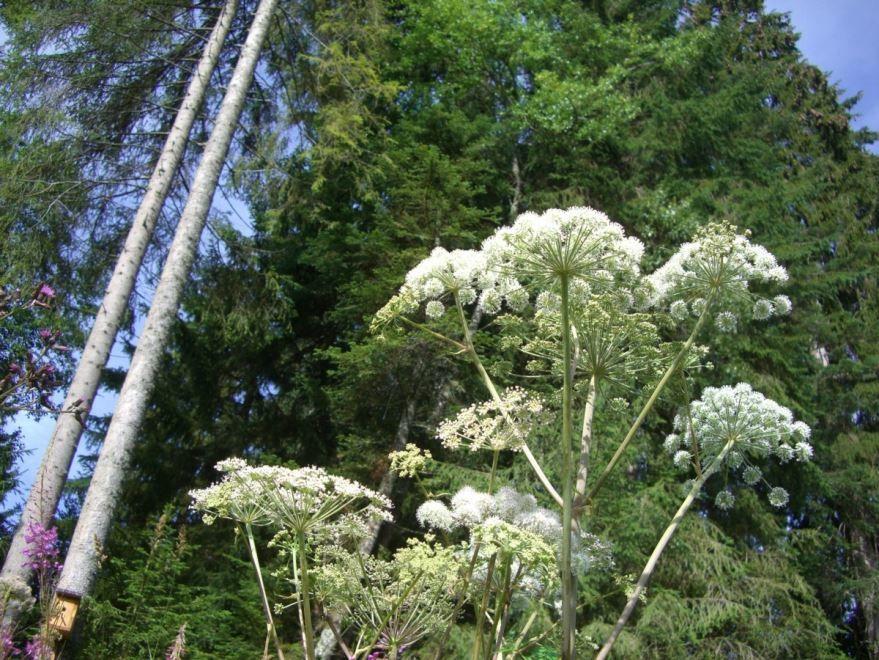 Фото ядовитого растения – борщевик