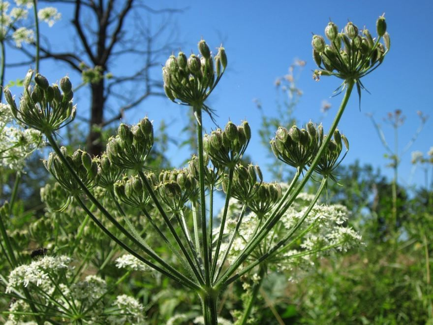 Скачать фото растения для лечебных рецептов