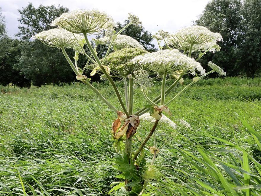 Бесплатно скачать фото обыкновенного растения борщевика