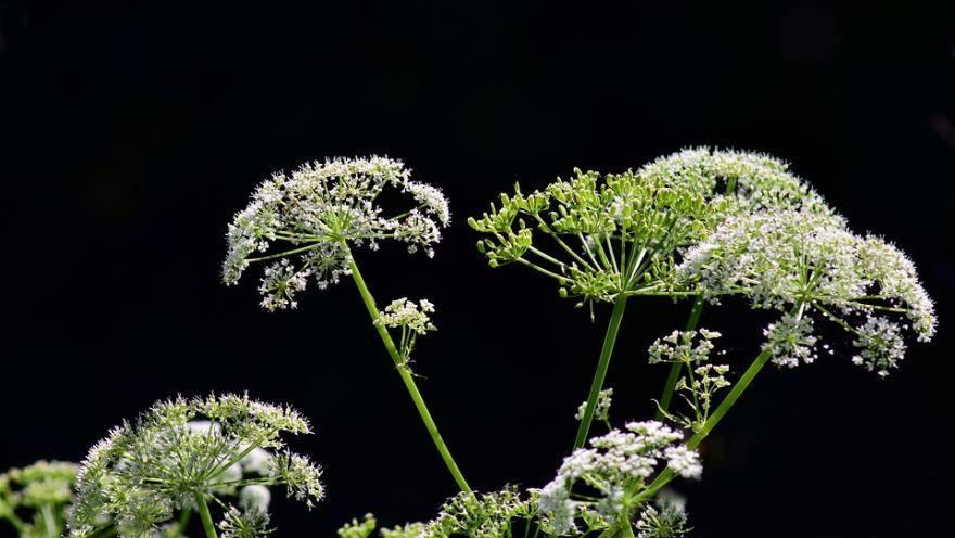Купить фото растения болиголов? Скачайте бесплатно