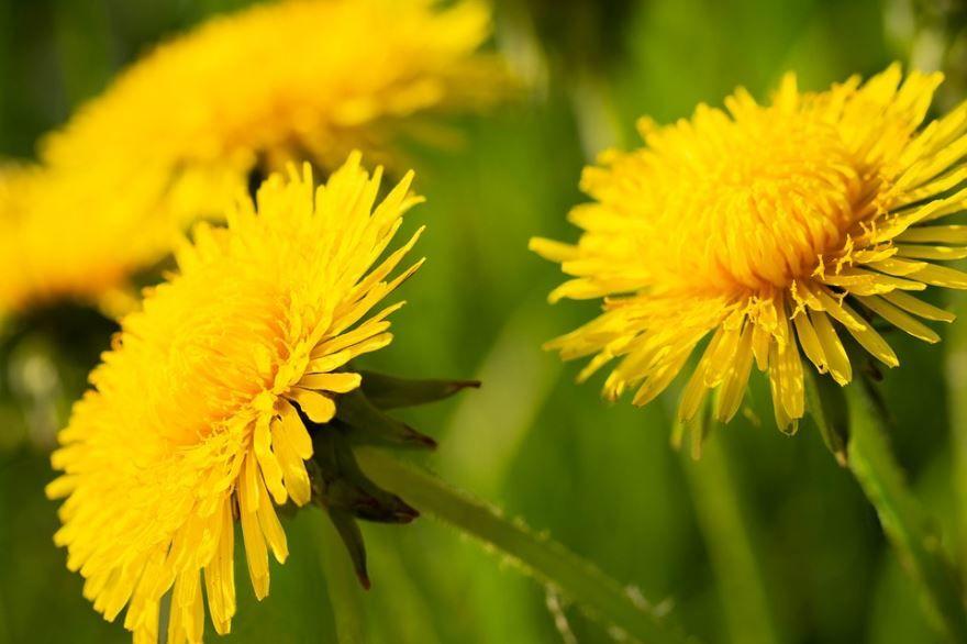 Фото полевого сорняка – осота