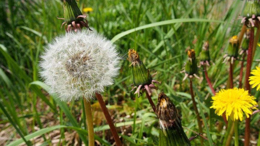 Трава осот на огороде, фото