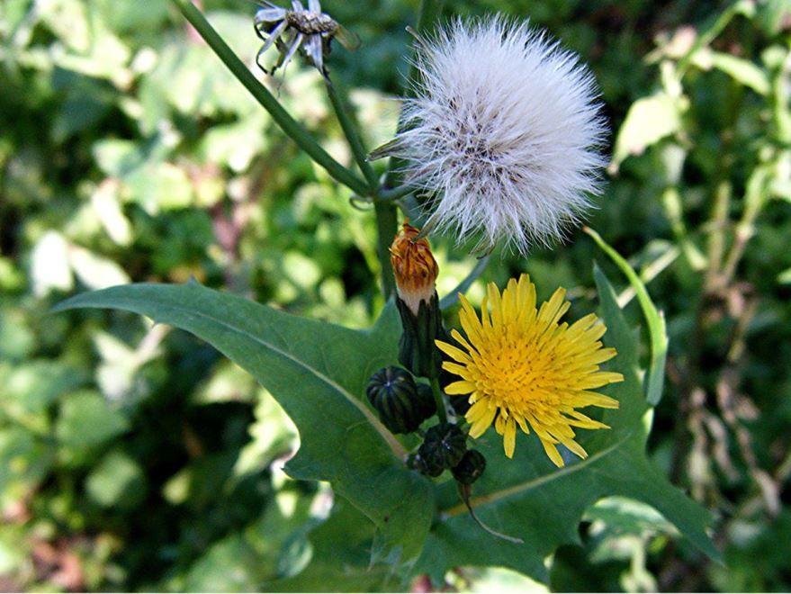 Фото растения осота с мощной корневой системой