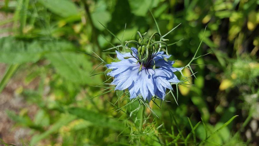 Купить фото растения тмин с полезными свойствами