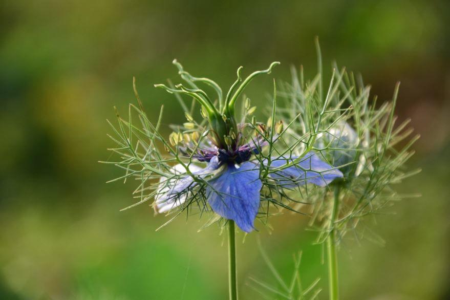 Скачать картинки и фото растения тмин бесплатно