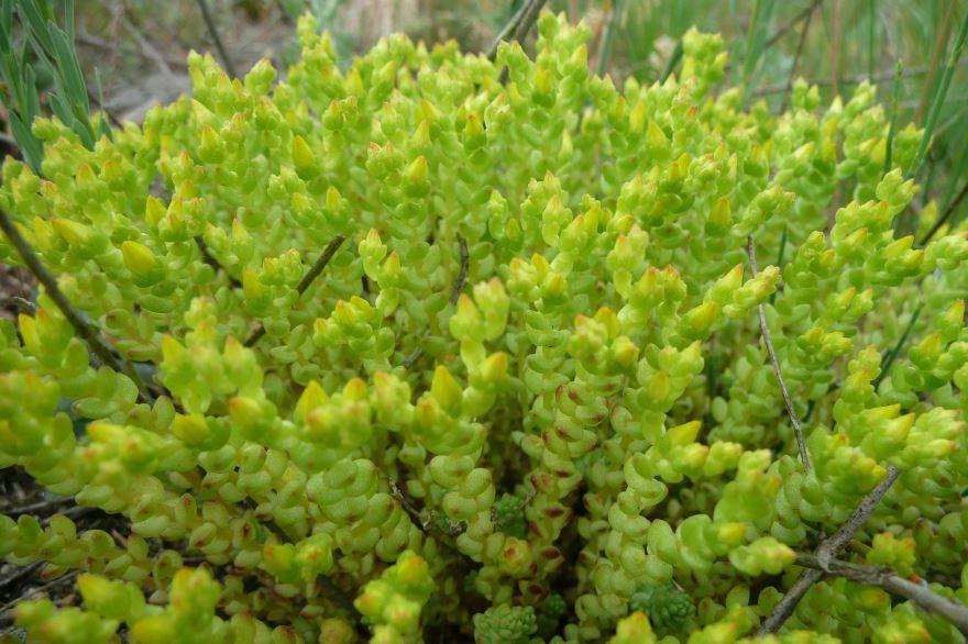 Фото растения очиток для посадки в открытый грунт