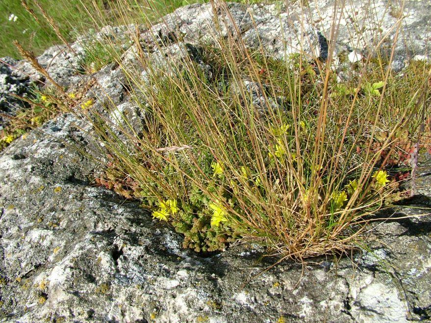 Фото цветков растения очиток с полезными свойствами