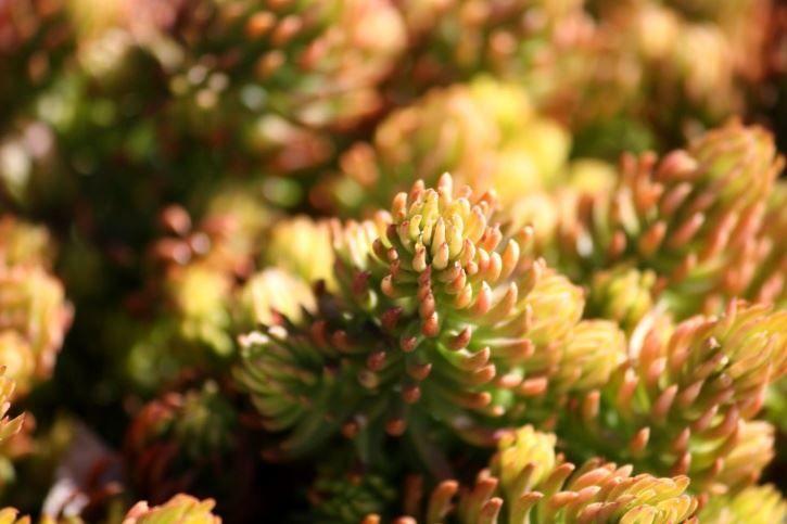 Фото домашнего растения очиток бесплатно
