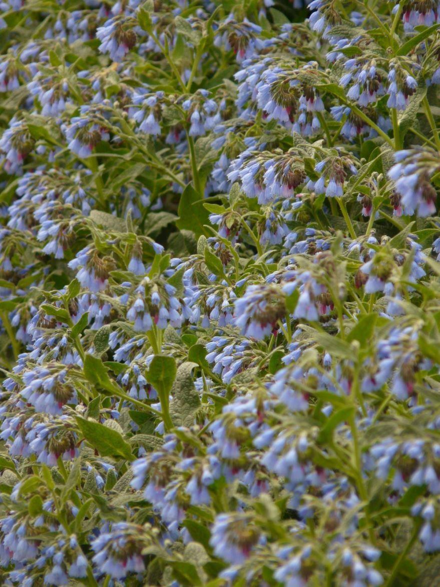 Скачать фото лекарственной травы – окопника