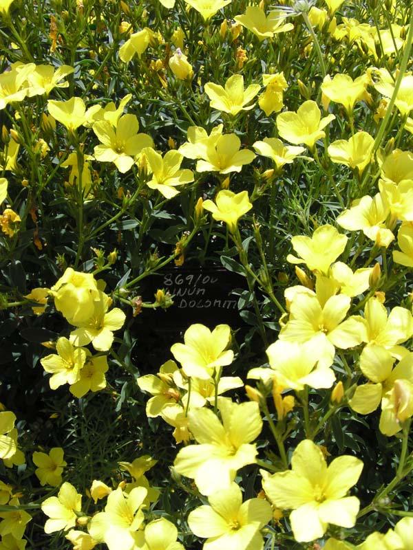 Фото растения лен, применяемого для изготовления масел