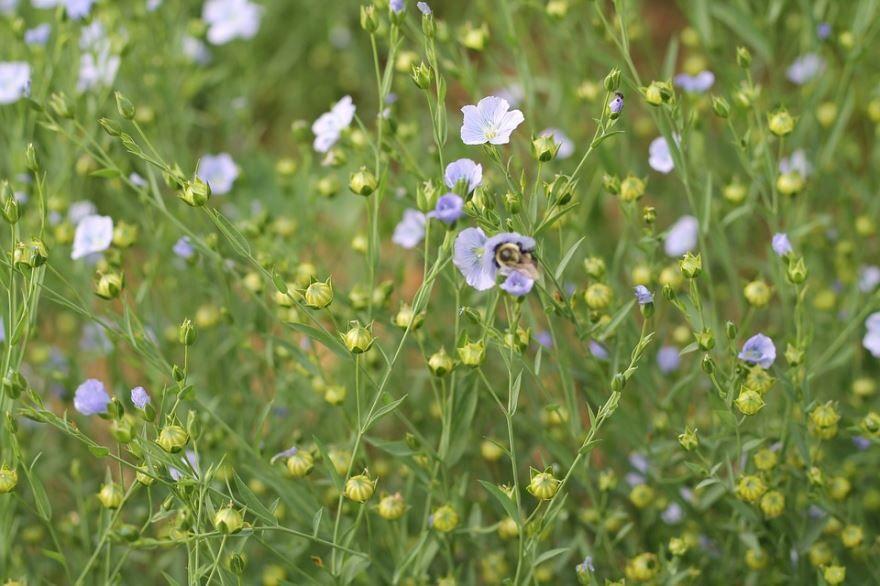 Скачать фото лечебного растения льна