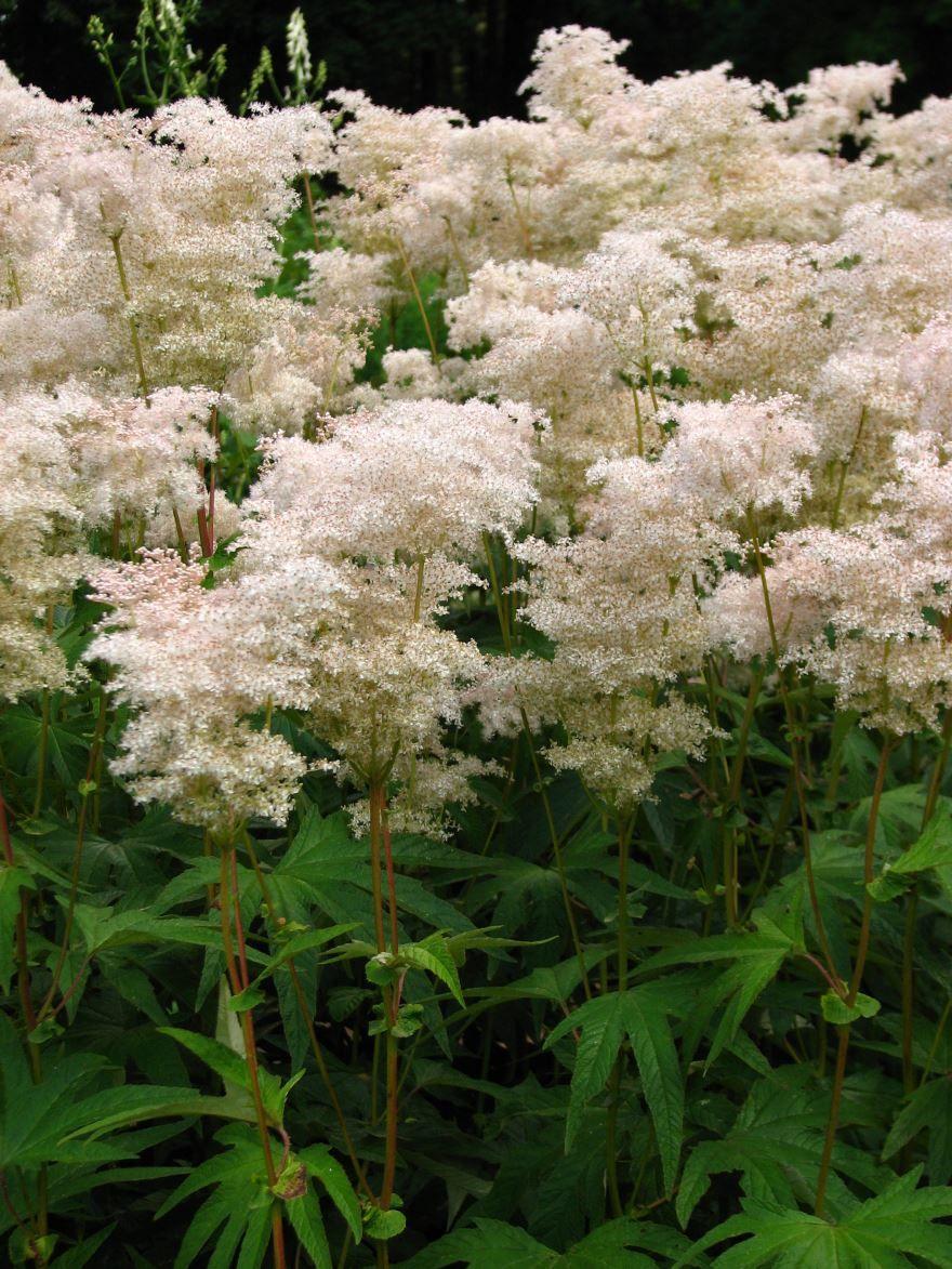 Фото домашнего растения лабазника бесплатно