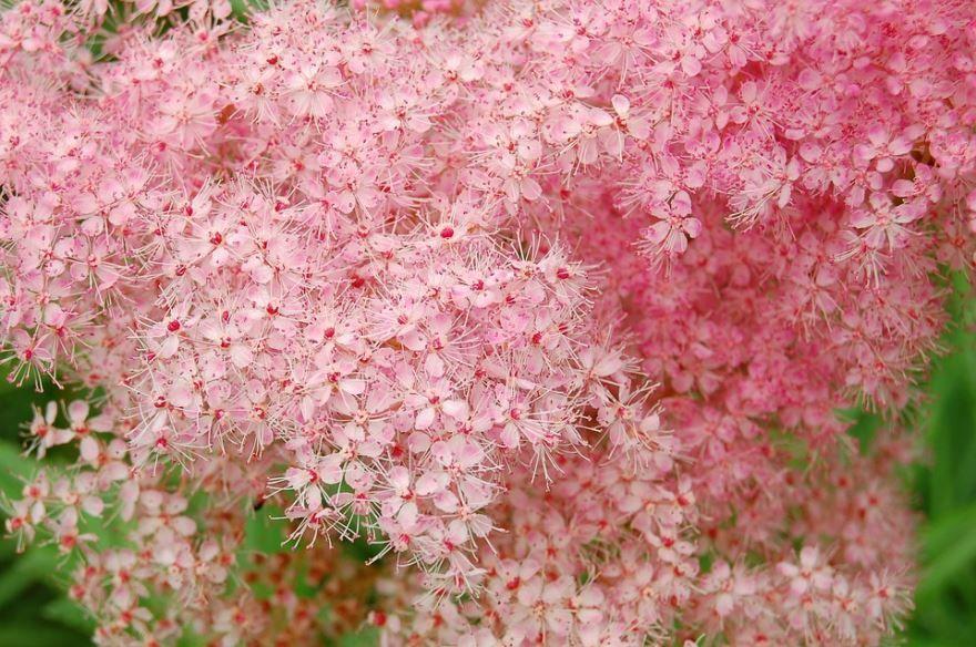 Фото растения лабазник с лечебными корнями