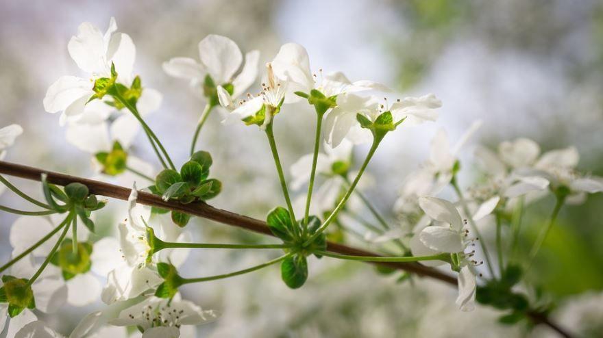 Фото цветков растения лечебного лабазника с полезными свойствами