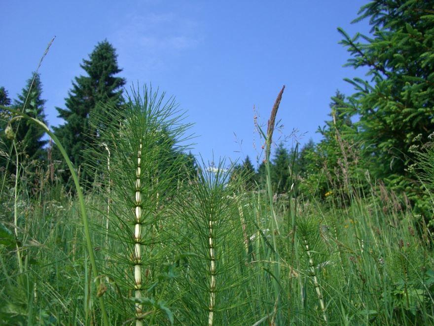Скачать картинки и фото полевого хвоща с лечебными свойствами