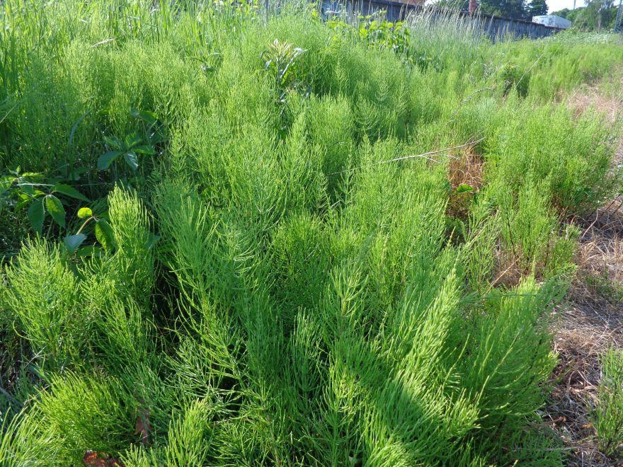 Фото полевого хвоща с полезными свойствами