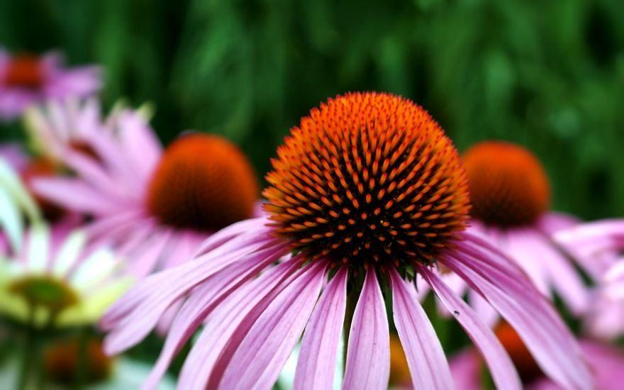 Фото полезного растения эхинацеи для лечебных настоек