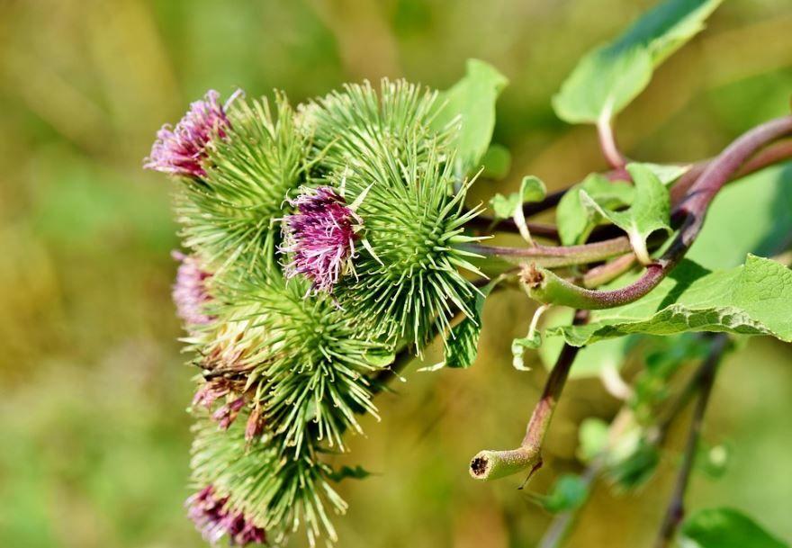 Фото лечебного растения лопуха со своими противопоказаниями