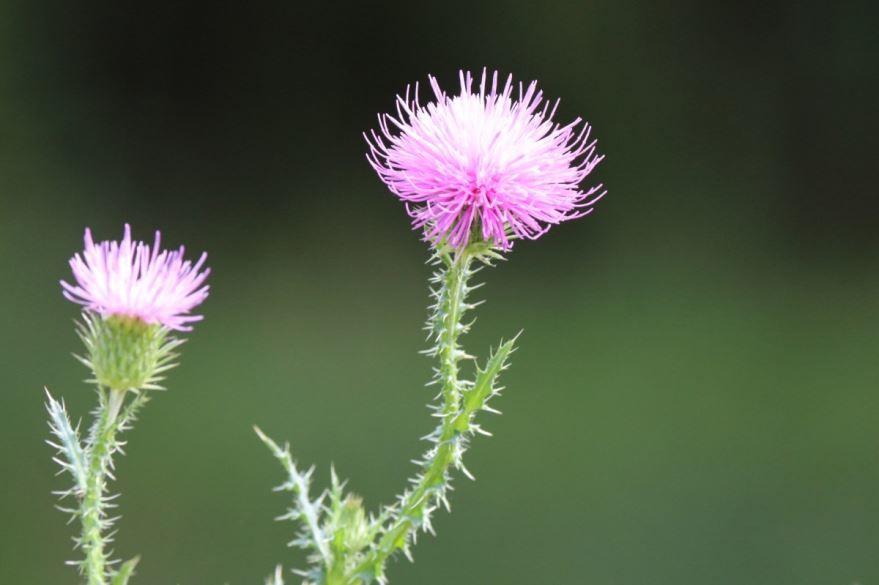 Фото растения лопуха, с полезными для здоровья корнями