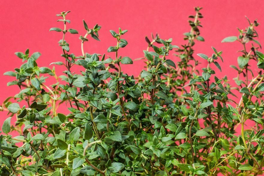 Фото тимьяна с лечебными свойствами и с противопоказаниями