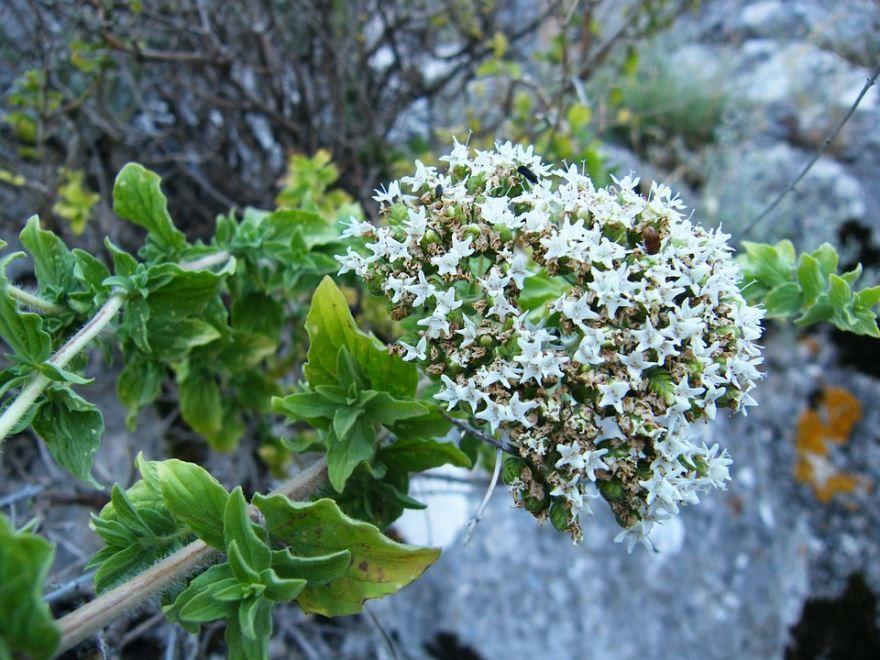 Фото травы тимьяна для полезных рецептов на зиму