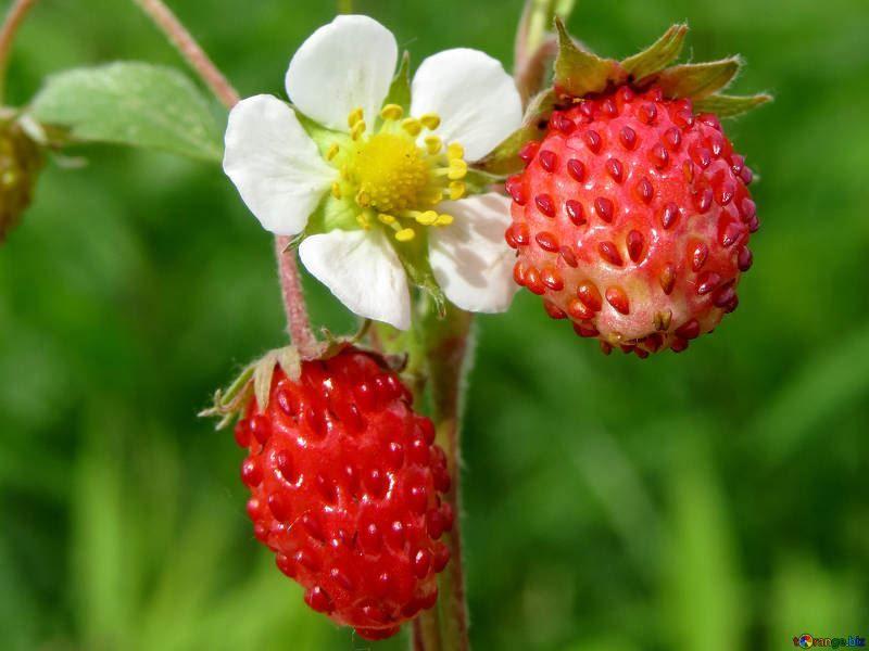 Картинки земляники ягоды земляники