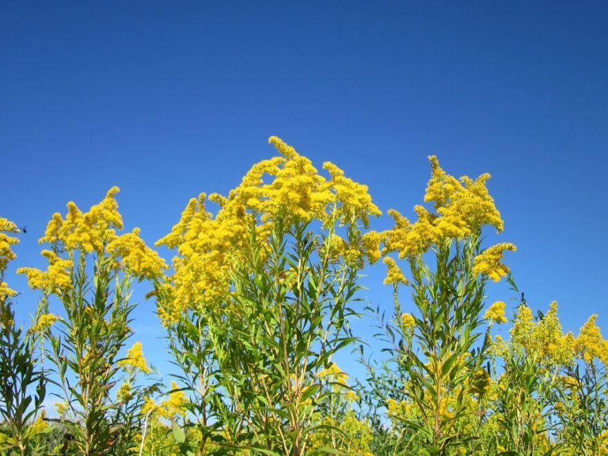Фото лечебной травы – золотарник из Беларуси