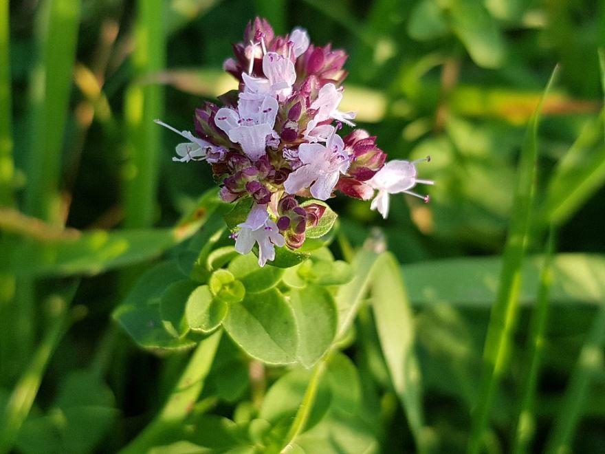 Фото лечебной травы – душицы мелиссы