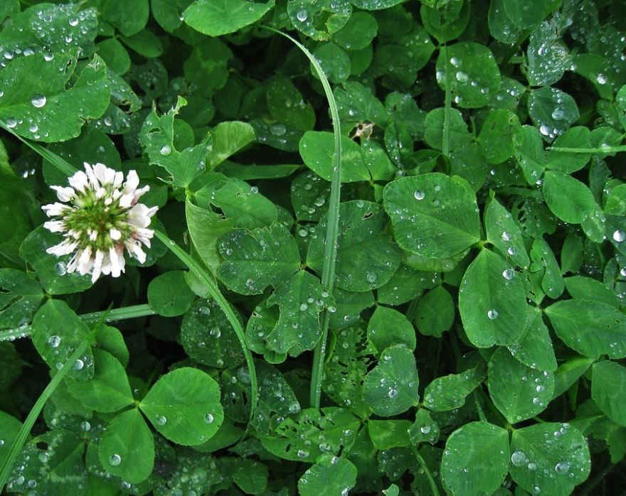 Скачать фото растения – клевер бесплатно
