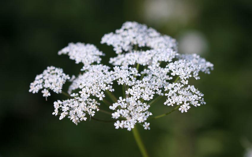 Фото лечебной травы – сныти