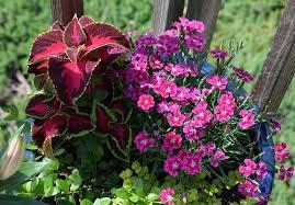 Скачать фото колеуса, растения для открытого грунта