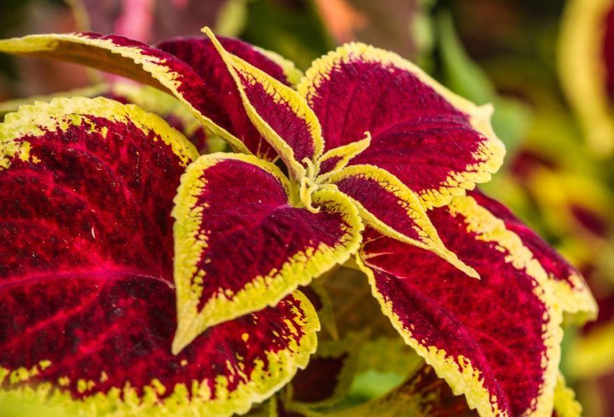 Фото цветков колеуса в домашних условиях