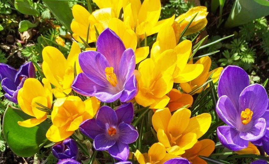 Фото цветков крокуса в домашних условиях