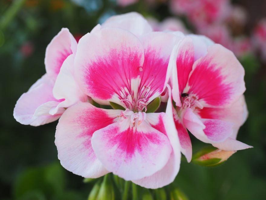 Фото цветов пеларгонии из Москвы