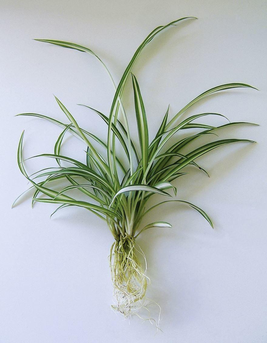 Смотреть фото зеленого хлорофитума