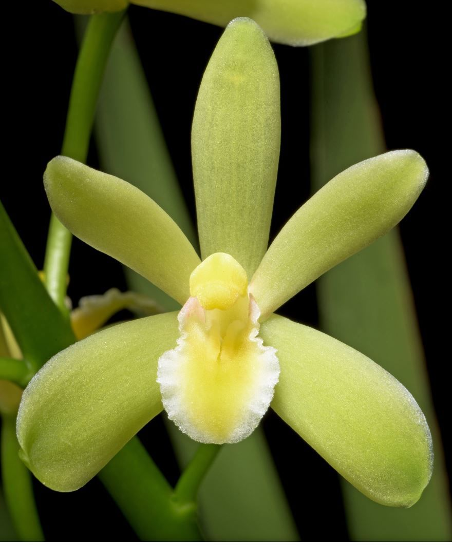 Фото растения цимбидиум для красивого букета