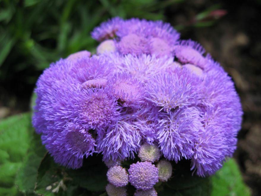 Фото растения агератум для посадки в открытый грунт