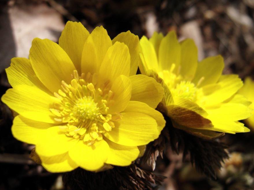 Фото лечебного растения адонис, из которого готовят лекарства
